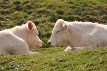 Vaches blanches nez à nez