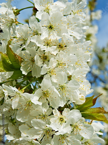 Beautiful white flowers blossoming cherry tree