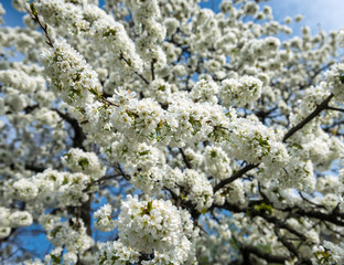Spring time. Blossoming tree brunch with white flowers.