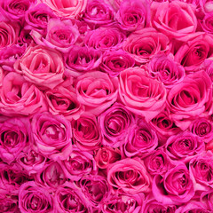 Roses. Pink Flowers background