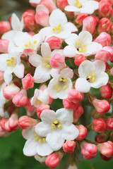 Schneeballblüte - Viburnum