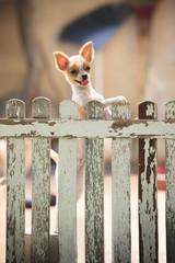 pomeranian puppy dog climbing old wood fence