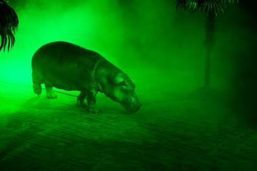 Circus hippopotamus during show