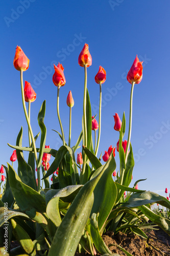Oregon tulips