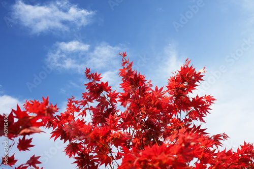 Japanese maple leaf / Momiji