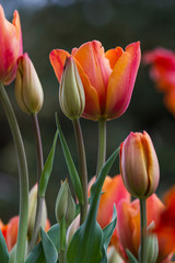 Beautiful orange tulips