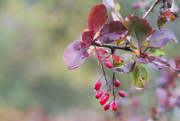 Berries barberry