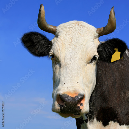 Head of a cow against the sky