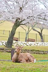 Deer in Nara with Sakura Tree