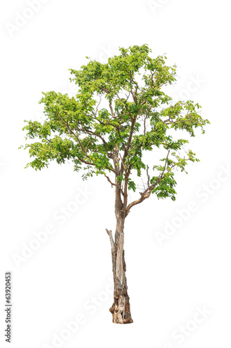 Pterocarpus indicus tree isolated on white background