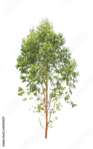 Eucalyptus tree isolated on white background