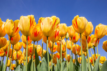 Red and yellow tulips against a blue sky