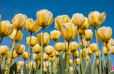 White and yellow tulips against a blue sky