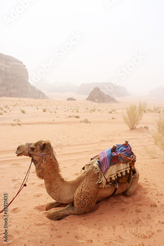 Camels in the sandy desert - Wadi Rum, Jordan