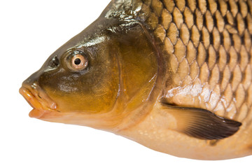 Portrait of Common carp