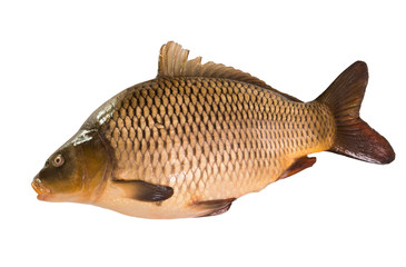 Common Carp (sazan) isolated on white background