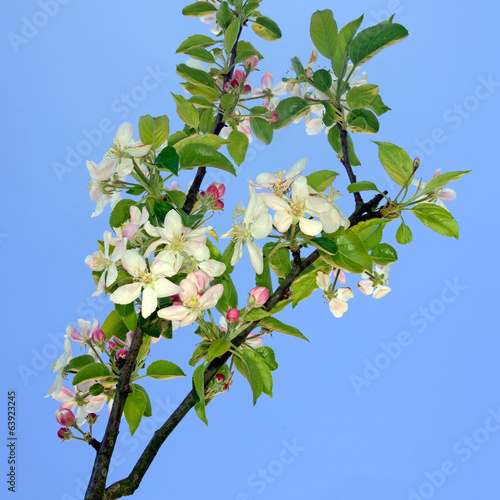 Pink and white apple blossom over blue sky - springtime in natur