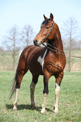 Gorgeous pinto stallion with nice bridle