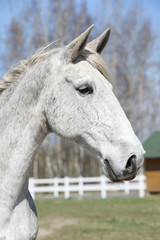 Portrait of nice white kladruber horse