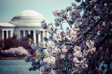 Pink cherry in spring,the Jefferson Memorial,Washington DC