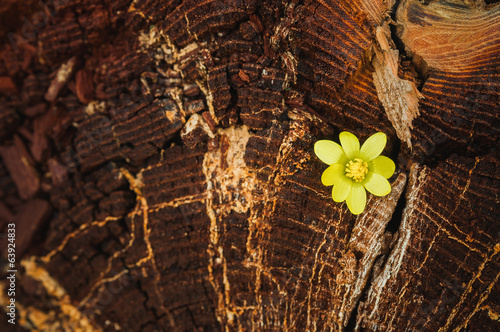 Anemone flower on the tree bark
