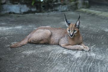 lynx wild cat in africa