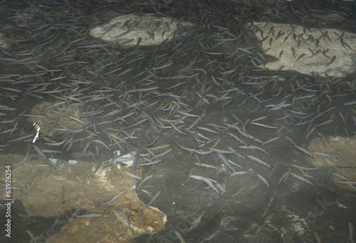 Breeding  fish in a fish factory
