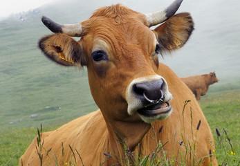 vache tarine,agriculture biologique