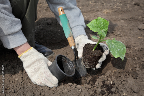 Agriculture, cucumber plant in spring and farmer hand