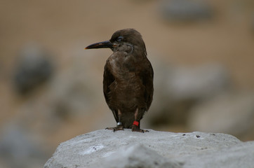 Inca Tern female