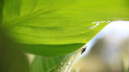 earwig perches on a large tropical leaf