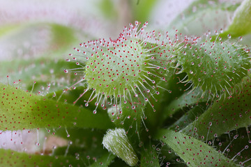 Sundew, Drosera with catched insect