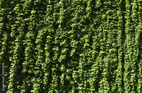 a texture of green climber with leaves,  during Spring