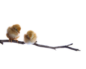 two brother new born chick on dry tree branch isolated white bac