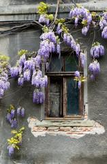 Glyzinien und altes Fenster
