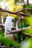 White cockatoo parrot on a branch Kanvas Tablo