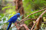 Blue macaw parrot on a branch Kanvas Tablo
