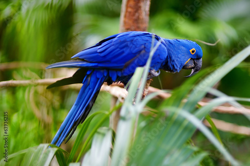 Blue macaw parrot on a branch