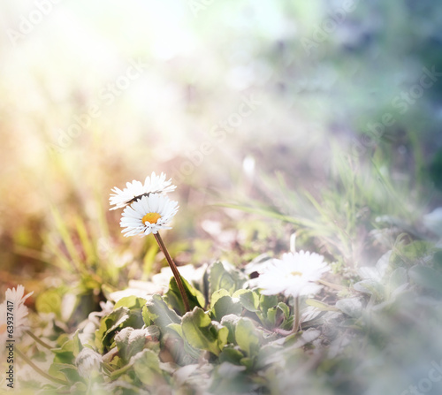 Little daisy (spring daisy)  illuminated by sunlight