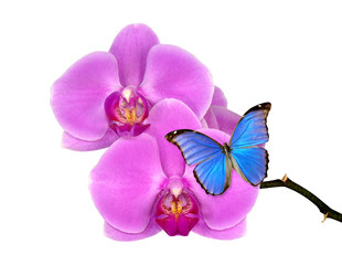 Closeup of a purple orchid with butterfly morpho