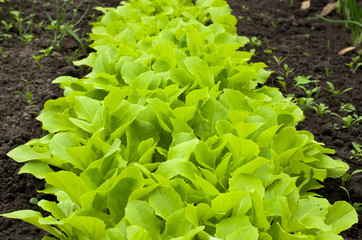 Young Green Lettuce Salad in Greenhouse