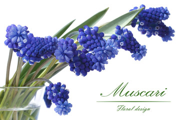 Bouquet flowers of blue muscari in a glass vase isolated