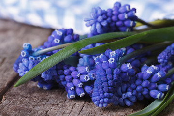 spring flowers muscari wrapped in blue cloth macro