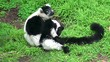 Black-and-white ruffed lemur.