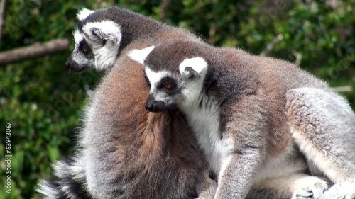 Two Ring-tailed lemurs Grooming.