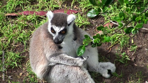 Ring-tailed lemur is eating foliage.