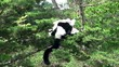 Black-and-white ruffed lemur on the tree.