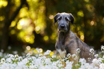 Junger Irischer Wolfshund in Blumenwiese
