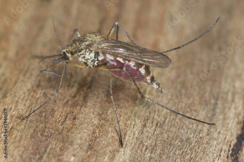 Blood filled mosquito on wood