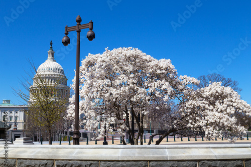 Blooming trees and Capitol Building in spring, Washinton DC